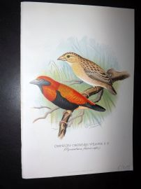 Frohawk & Butler 1899 Antique Bird Print. Crimson Crowned Weaver